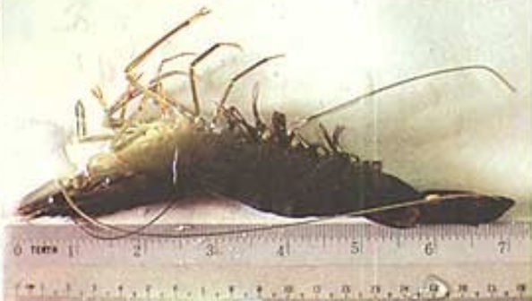 Anolyte-in-fish-shrimp-farming-3