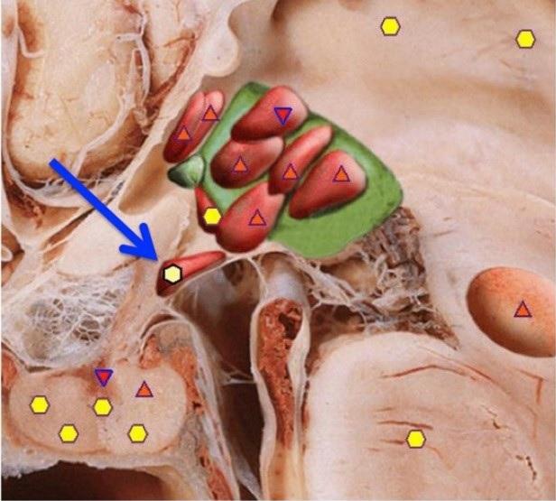 supraoptic-thalamus-core