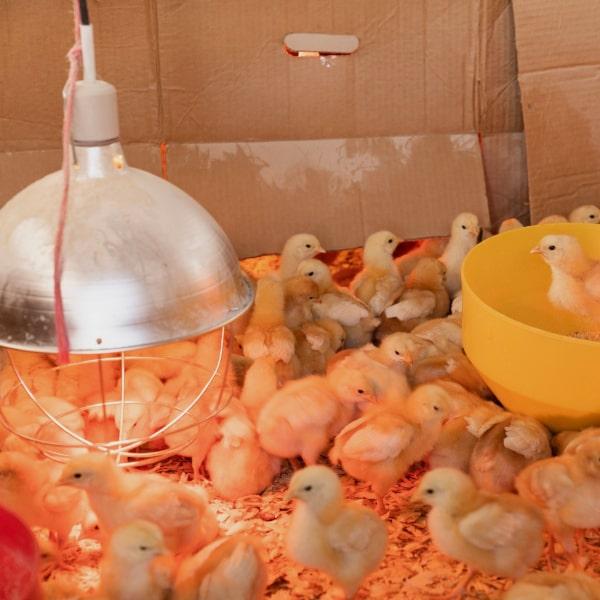 Poultry-Industry-1oKL4QNr9u66Js